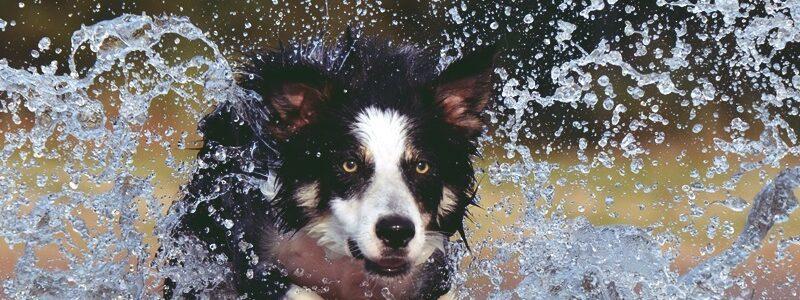 hund -border-collie-667488